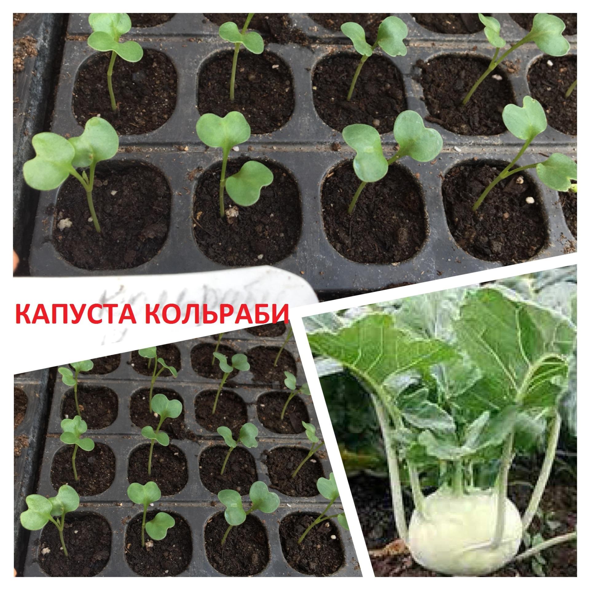 Капуста кольраби выращивание рассады, уход в период 2